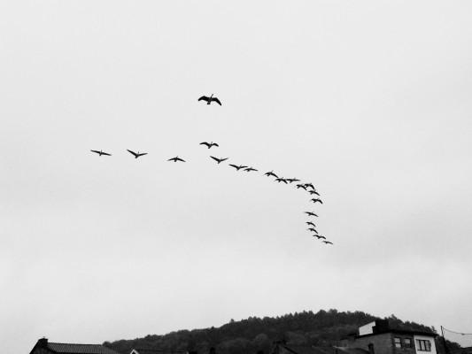 Les oies et les grues en migration